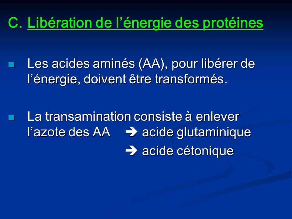 Libération de l'énergie des protéines