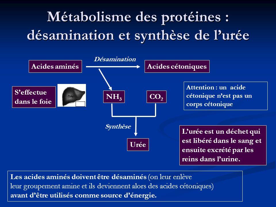 Métabolisme des protéines : désamination et synthèse de l'urée
