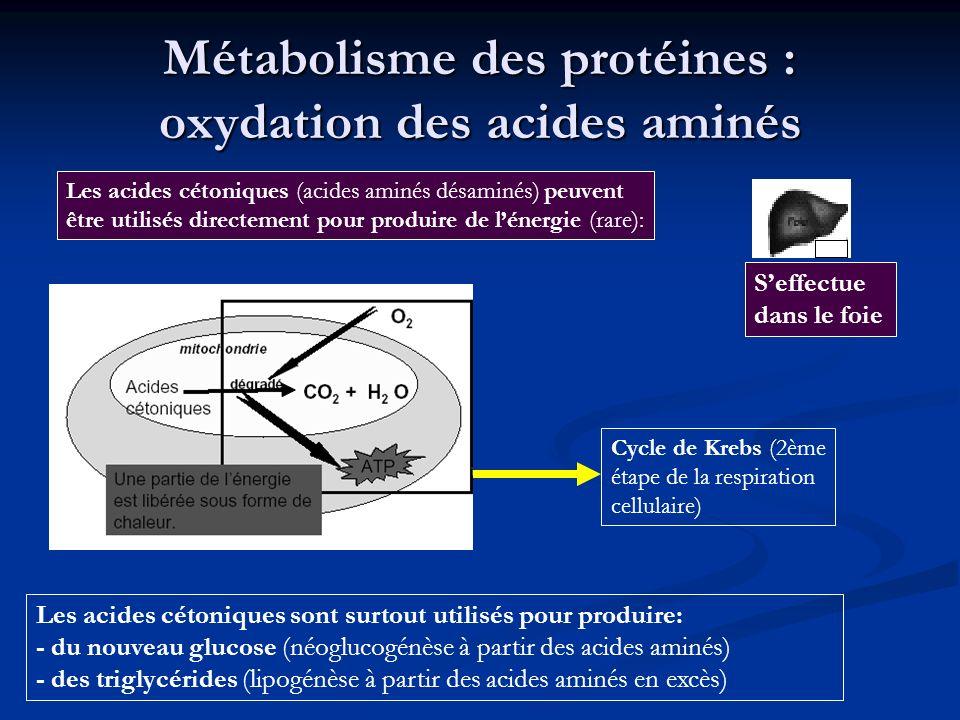 Métabolisme des protéines : oxydation des acides aminés