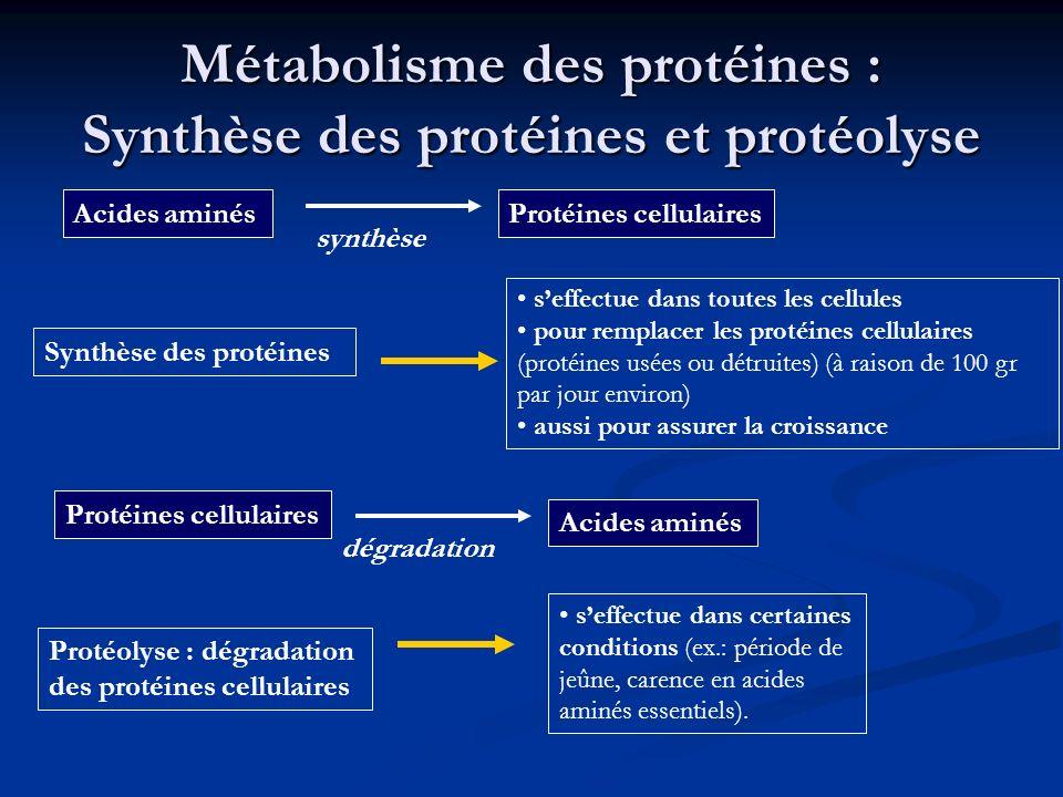 Métabolisme des protéines : Synthèse des protéines et protéolyse