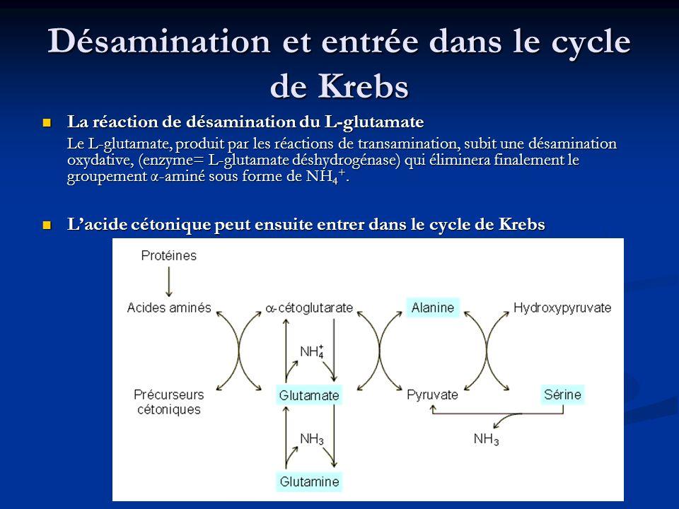 Désamination et entrée dans le cycle de Krebs
