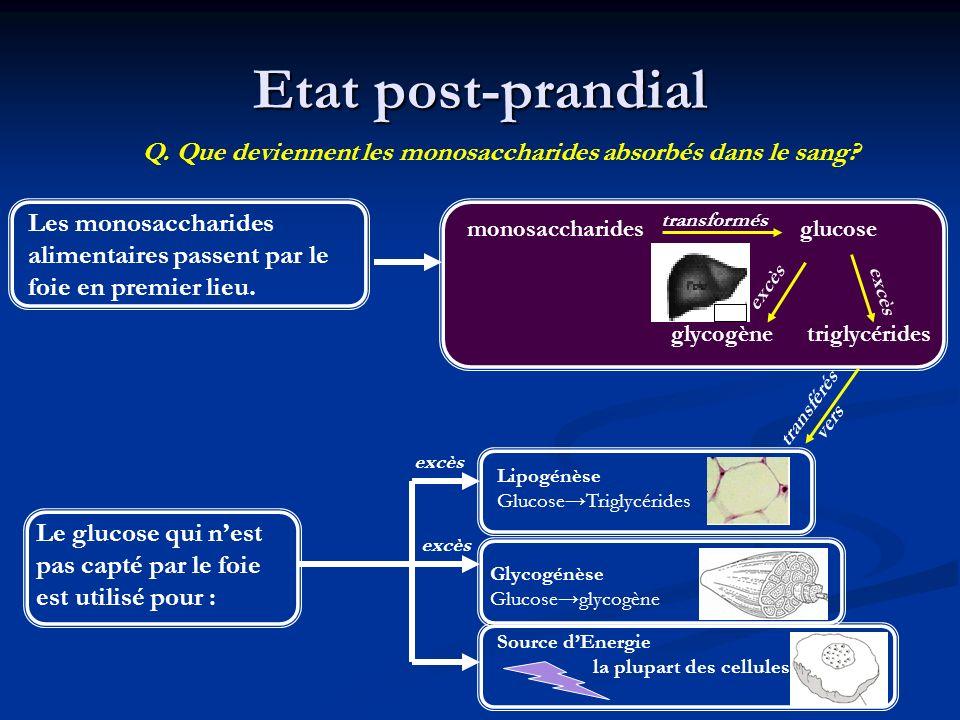 Etat post-prandial Q. Que deviennent les monosaccharides absorbés dans le sang