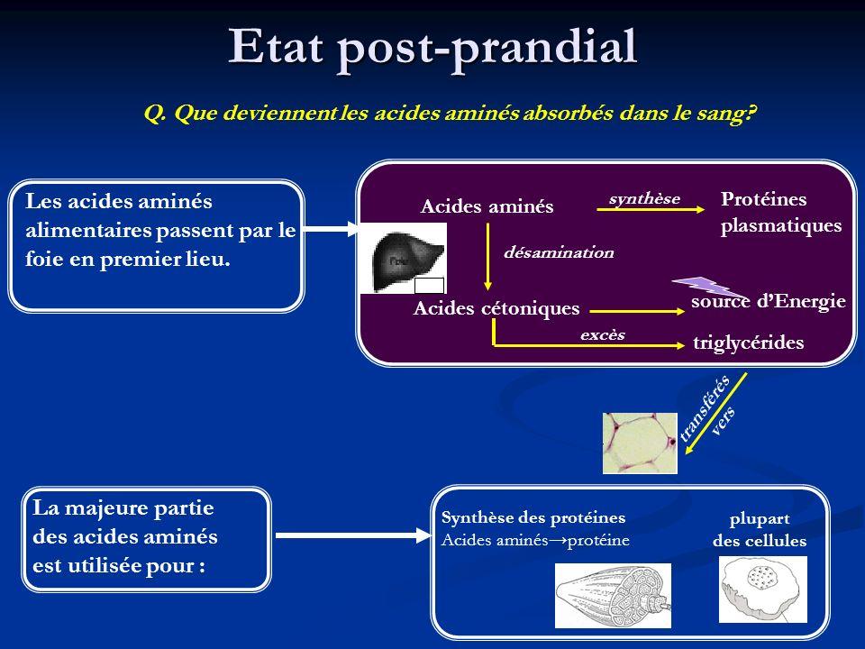 Etat post-prandial Q. Que deviennent les acides aminés absorbés dans le sang Les acides aminés alimentaires passent par le foie en premier lieu.