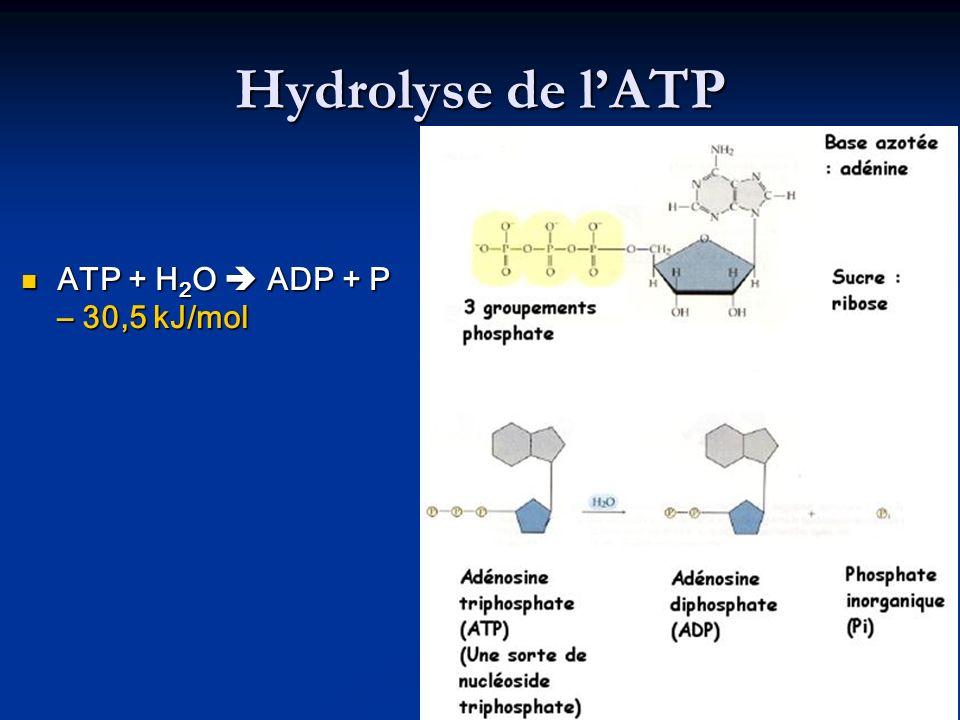 Hydrolyse de l'ATP ATP + H2O  ADP + P – 30,5 kJ/mol