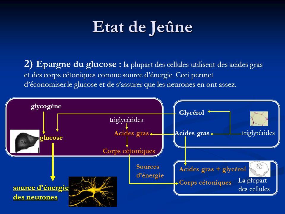 Etat de Jeûne 2) Epargne du glucose : la plupart des cellules utilisent des acides gras. et des corps cétoniques comme source d'énergie. Ceci permet.