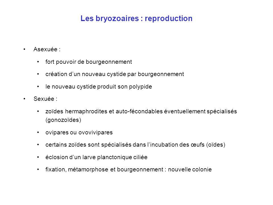 Les bryozoaires : reproduction