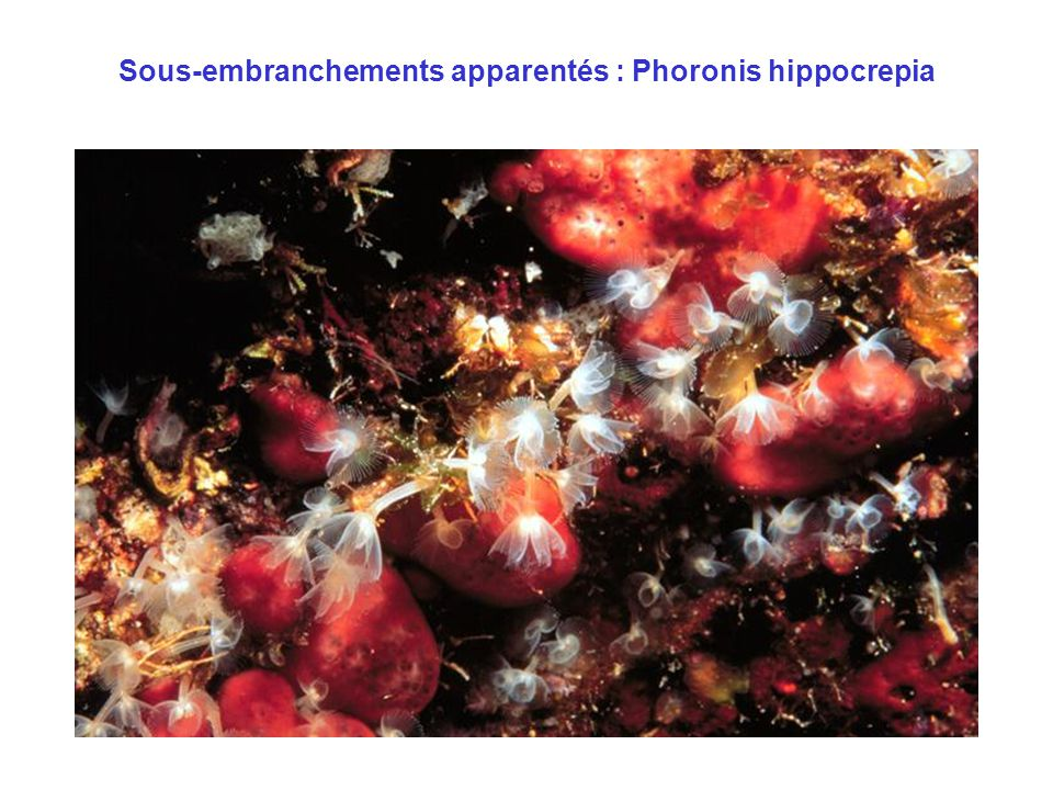 Sous-embranchements apparentés : Phoronis hippocrepia