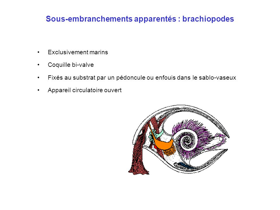 Sous-embranchements apparentés : brachiopodes