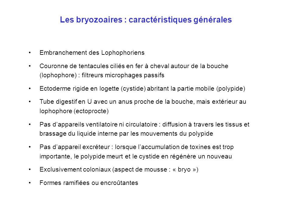 Les bryozoaires : caractéristiques générales