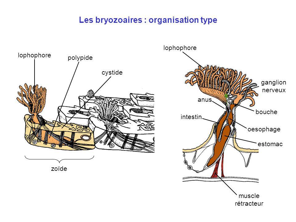 Les bryozoaires : organisation type