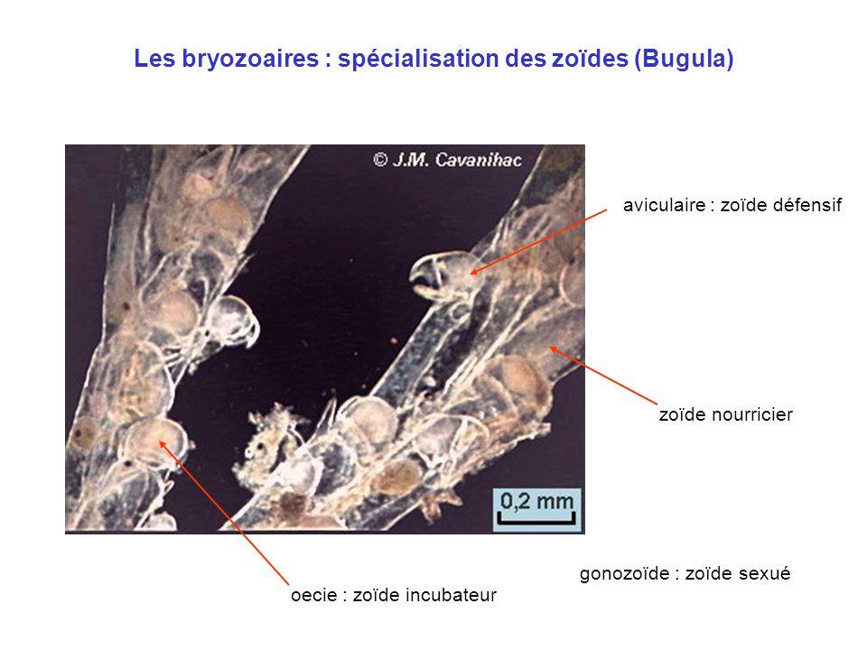Les bryozoaires : spécialisation des zoïdes (Bugula)