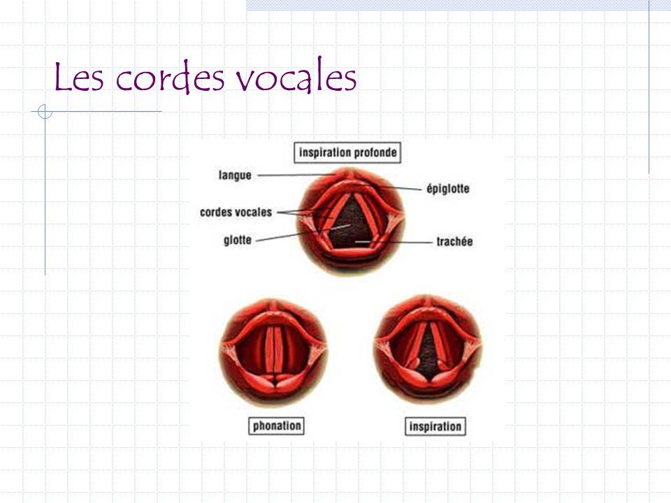 Les cordes vocales