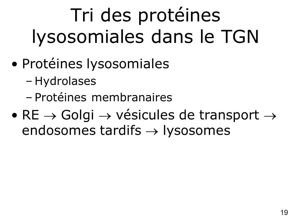 Tri des protéines lysosomiales dans le TGN