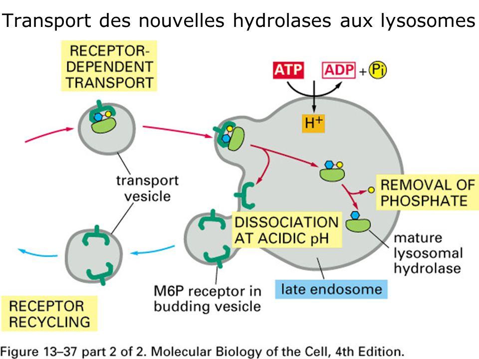 Fig 13-37 (2 de 2) Transport des nouvelles hydrolases aux lysosomes