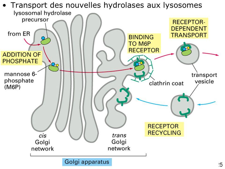 Fig 13-37 (1 de 2) Transport des nouvelles hydrolases aux lysosomes