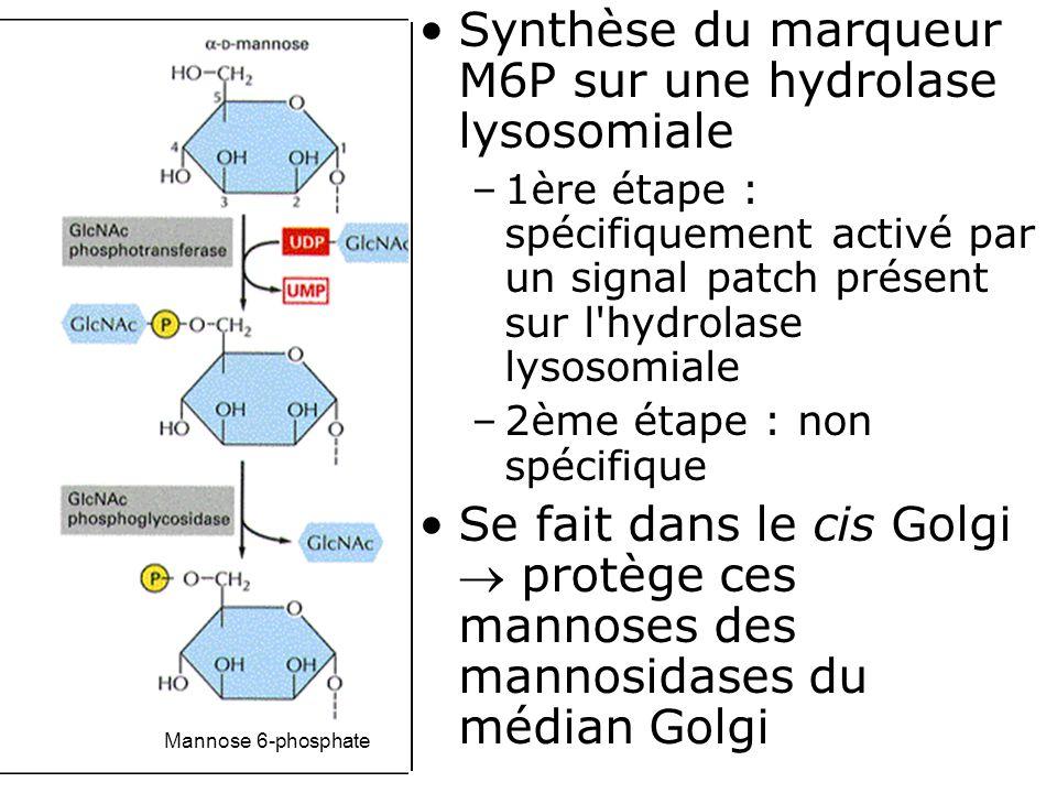Synthèse du marqueur M6P sur une hydrolase lysosomiale