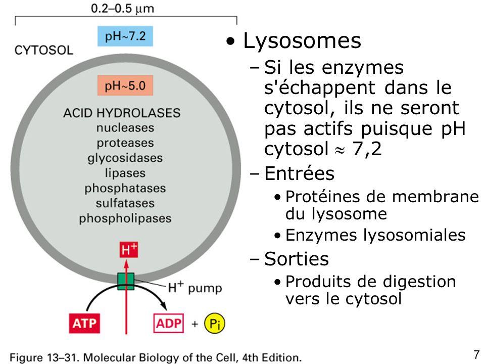 Lundi 15 octobre 2007 Lysosomes. Si les enzymes s échappent dans le cytosol, ils ne seront pas actifs puisque pH cytosol  7,2.