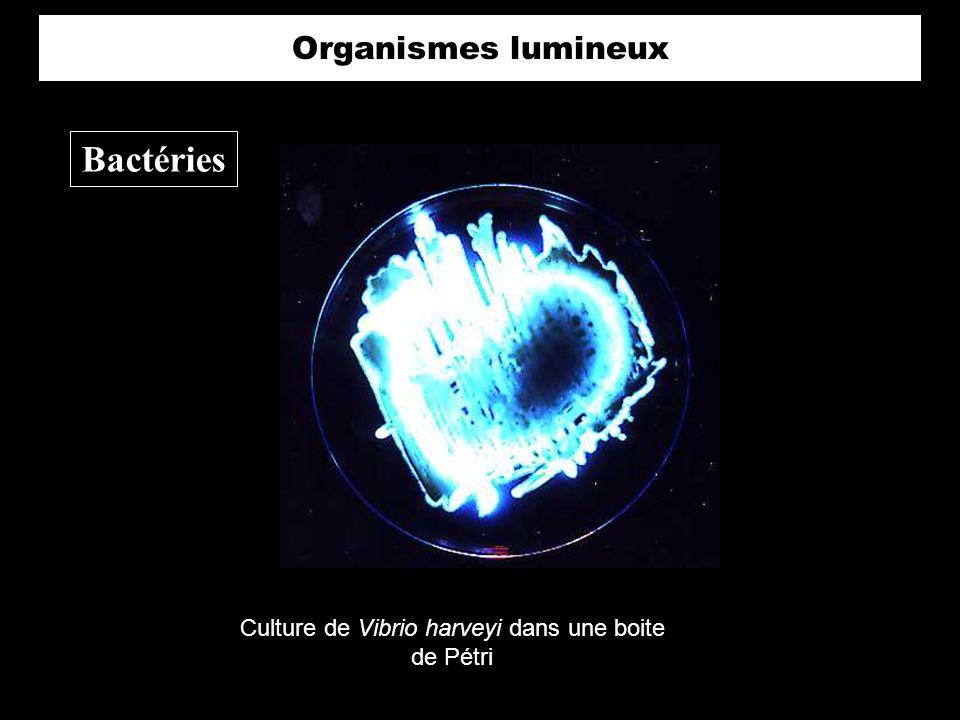 Culture de Vibrio harveyi dans une boite de Pétri