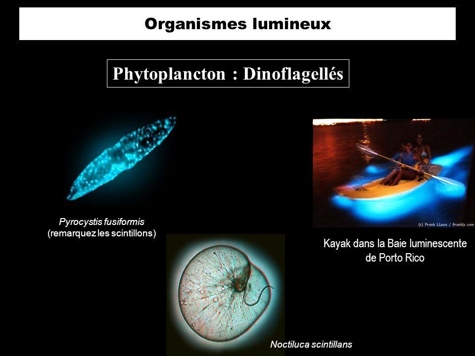 Phytoplancton : Dinoflagellés
