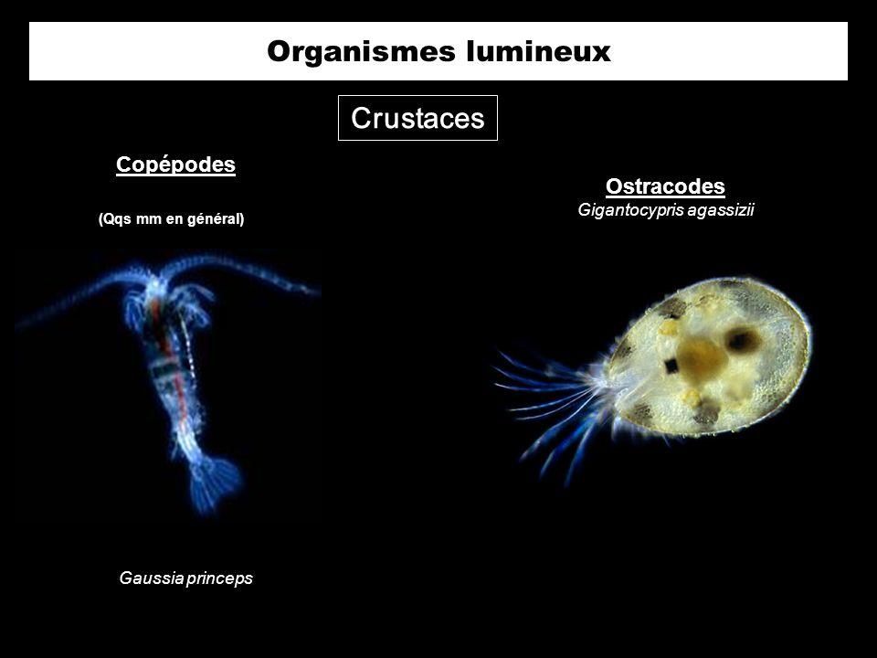 Gigantocypris agassizii