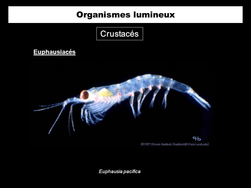 Organismes lumineux Crustacés Euphausiacés Euphausia pacifica