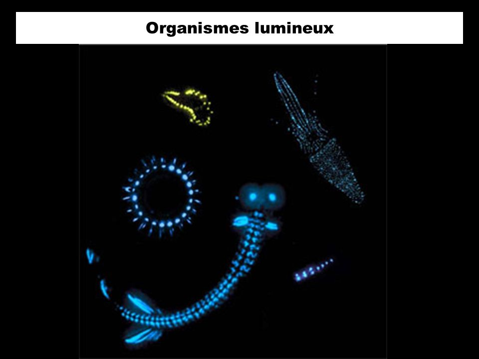 Tomopteris nisseni Organismes lumineux