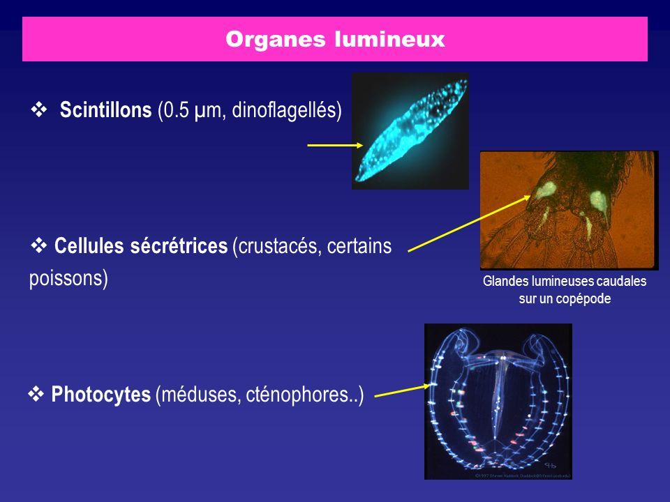 Scintillons (0.5 µm, dinoflagellés)