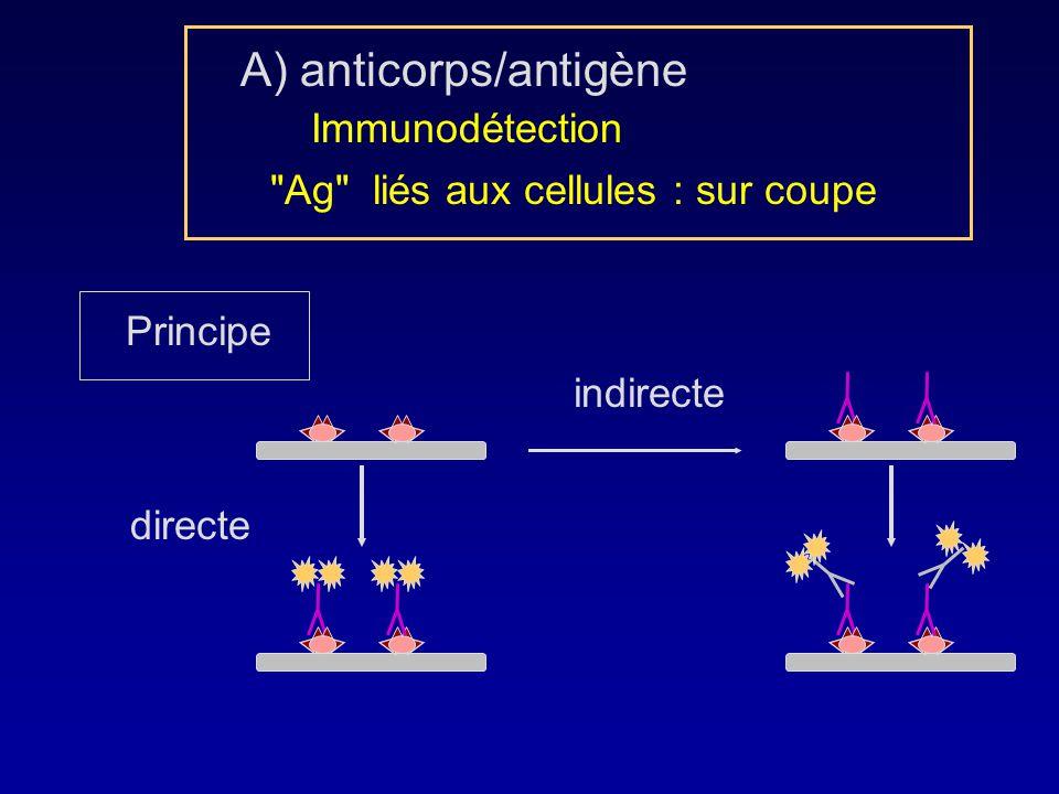 Ag liés aux cellules : sur coupe