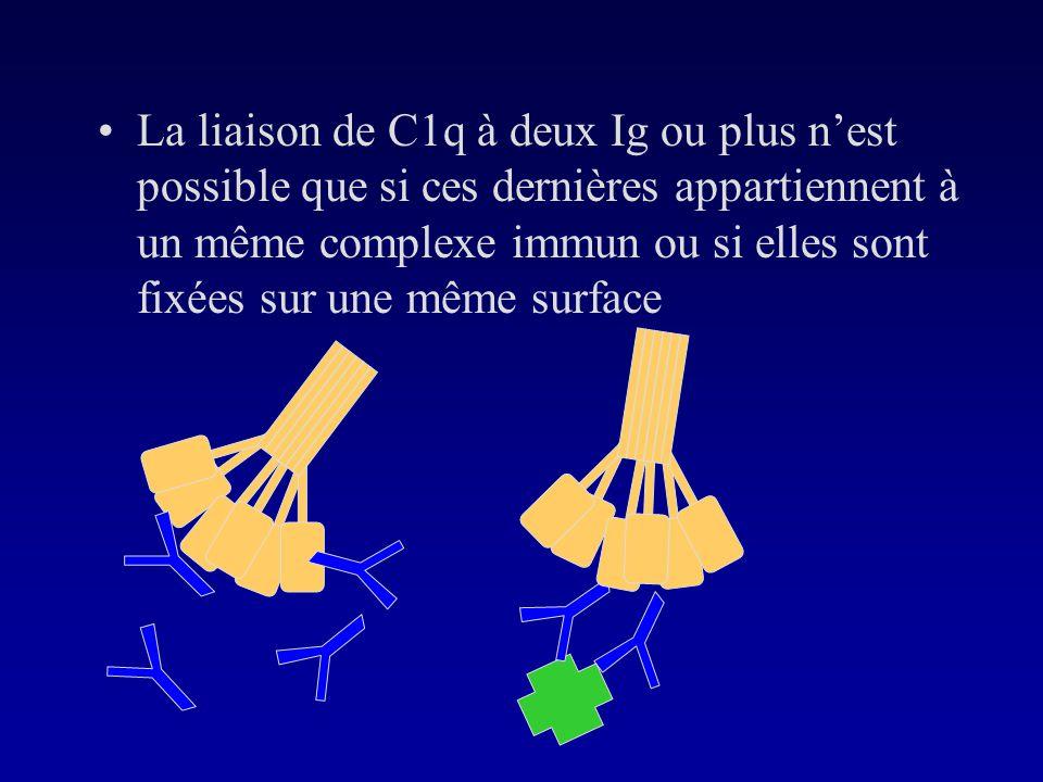 La liaison de C1q à deux Ig ou plus n'est possible que si ces dernières appartiennent à un même complexe immun ou si elles sont fixées sur une même surface