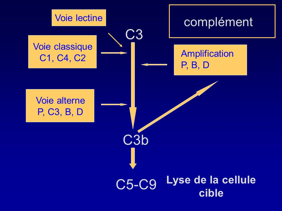 Lyse de la cellule cible