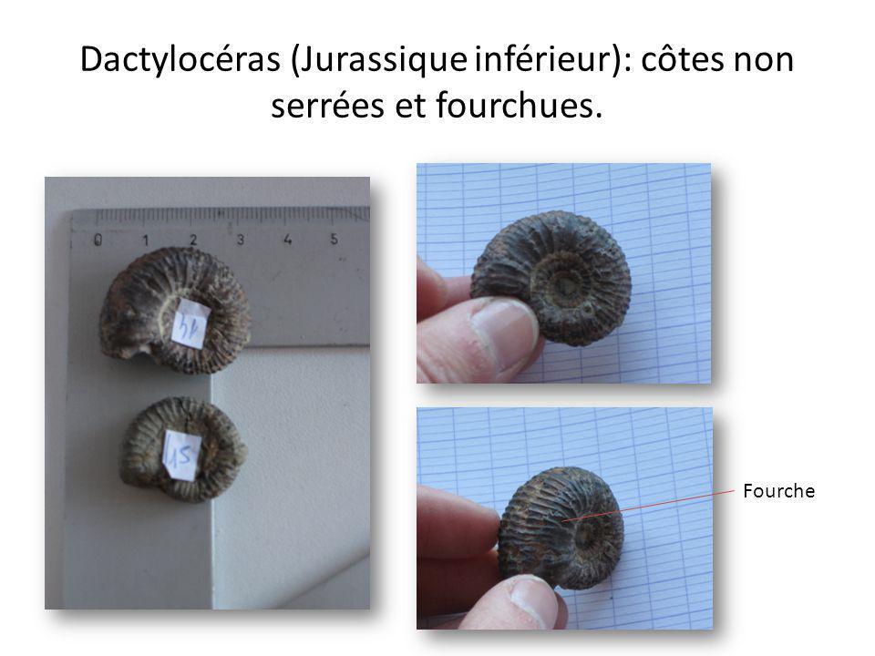 Dactylocéras (Jurassique inférieur): côtes non serrées et fourchues.