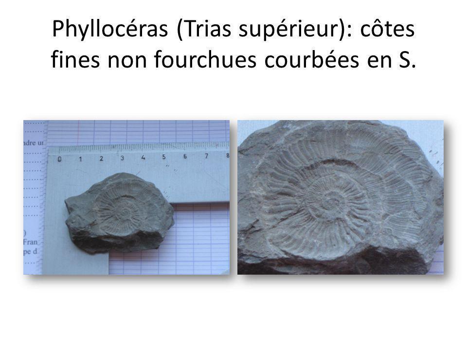 Phyllocéras (Trias supérieur): côtes fines non fourchues courbées en S.