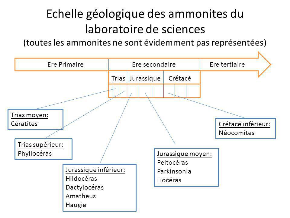 Echelle géologique des ammonites du laboratoire de sciences (toutes les ammonites ne sont évidemment pas représentées)
