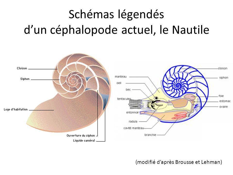 Schémas légendés d'un céphalopode actuel, le Nautile