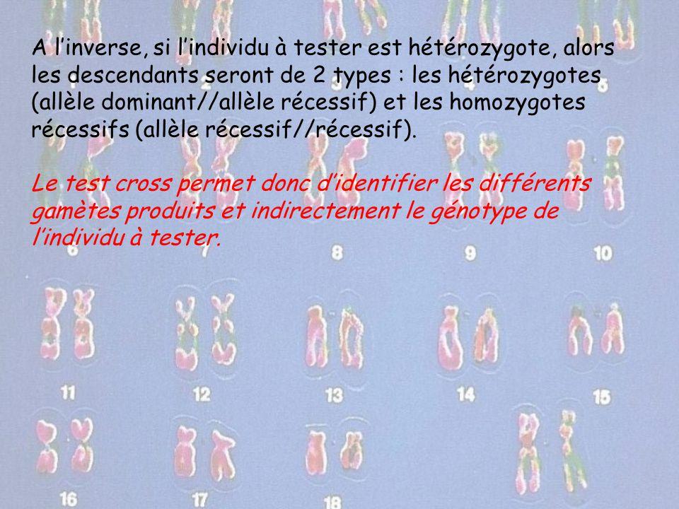 A l'inverse, si l'individu à tester est hétérozygote, alors les descendants seront de 2 types : les hétérozygotes (allèle dominant//allèle récessif) et les homozygotes récessifs (allèle récessif//récessif).