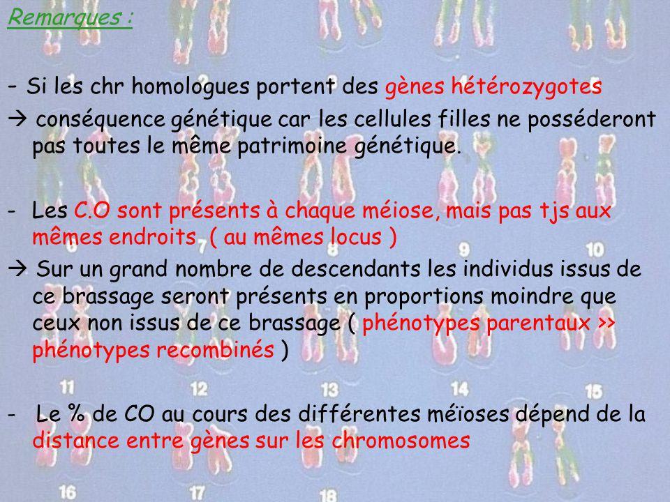 - Si les chr homologues portent des gènes hétérozygotes
