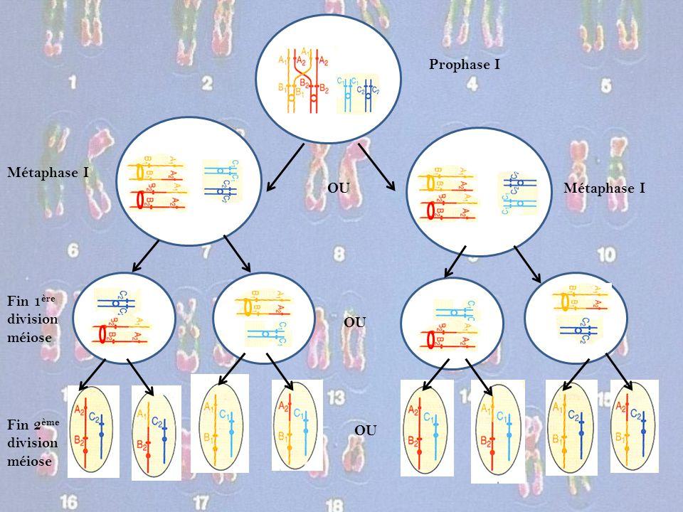 Prophase I Métaphase I OU Métaphase I Fin 1ère division méiose OU Fin 2ème division méiose OU