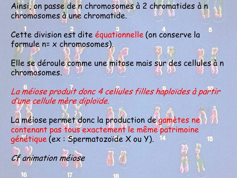 Ainsi, on passe de n chromosomes à 2 chromatides à n chromosomes à une chromatide.
