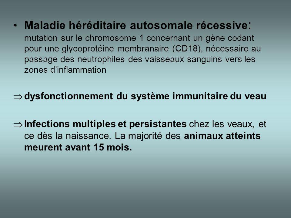 Maladie héréditaire autosomale récessive: mutation sur le chromosome 1 concernant un gène codant pour une glycoprotéine membranaire (CD18), nécessaire au passage des neutrophiles des vaisseaux sanguins vers les zones d'inflammation