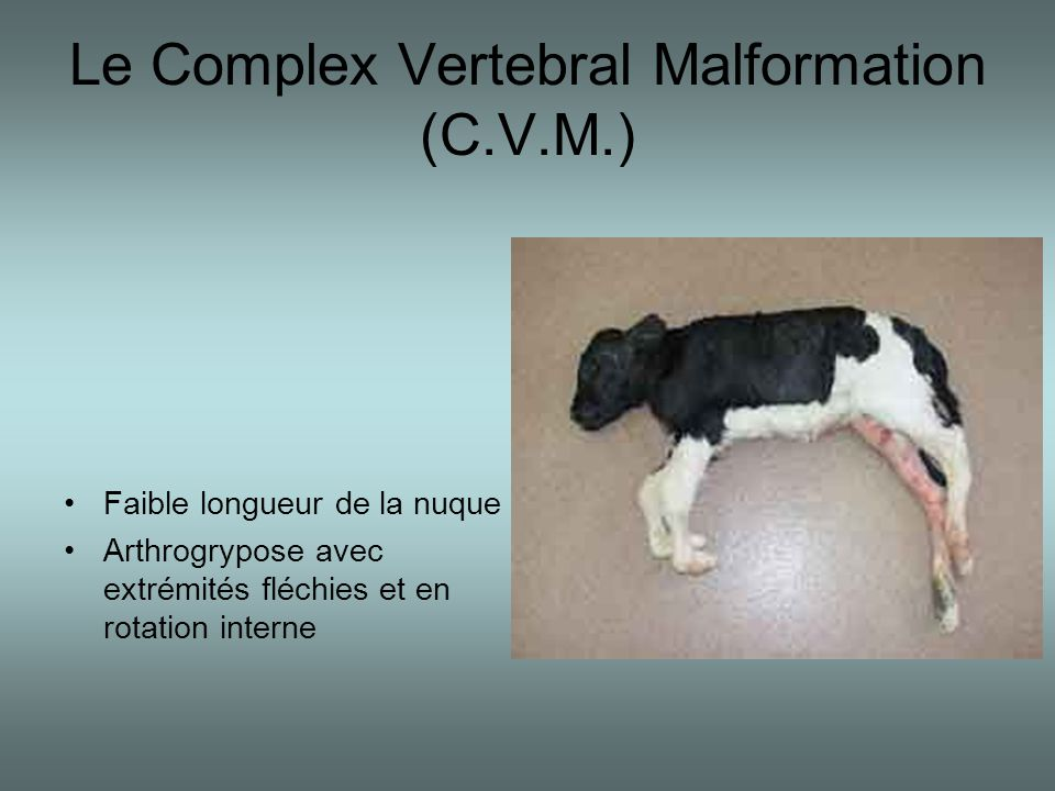 Le Complex Vertebral Malformation (C.V.M.)