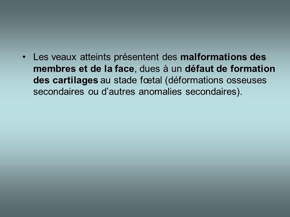 Les veaux atteints présentent des malformations des membres et de la face, dues à un défaut de formation des cartilages au stade fœtal (déformations osseuses secondaires ou d'autres anomalies secondaires).