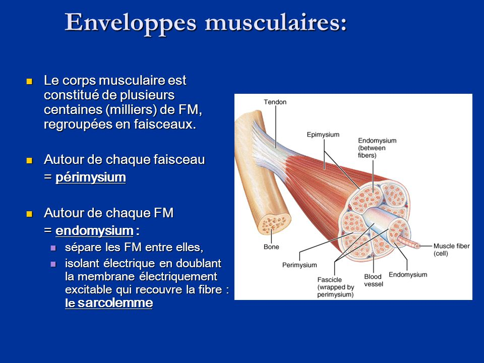 Enveloppes musculaires: