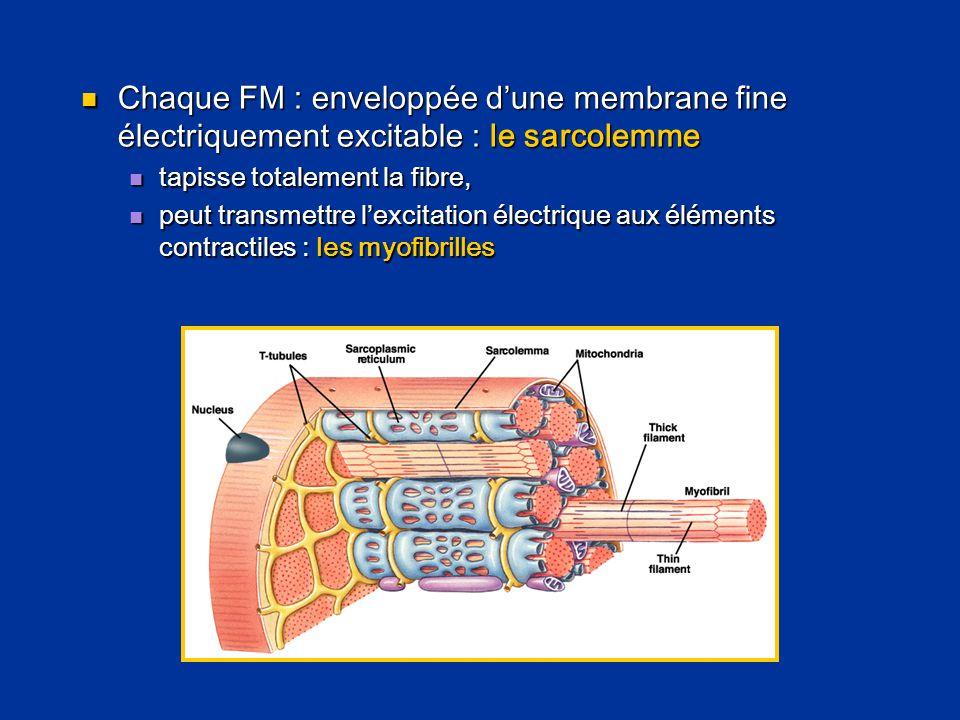 Chaque FM : enveloppée d'une membrane fine électriquement excitable : le sarcolemme