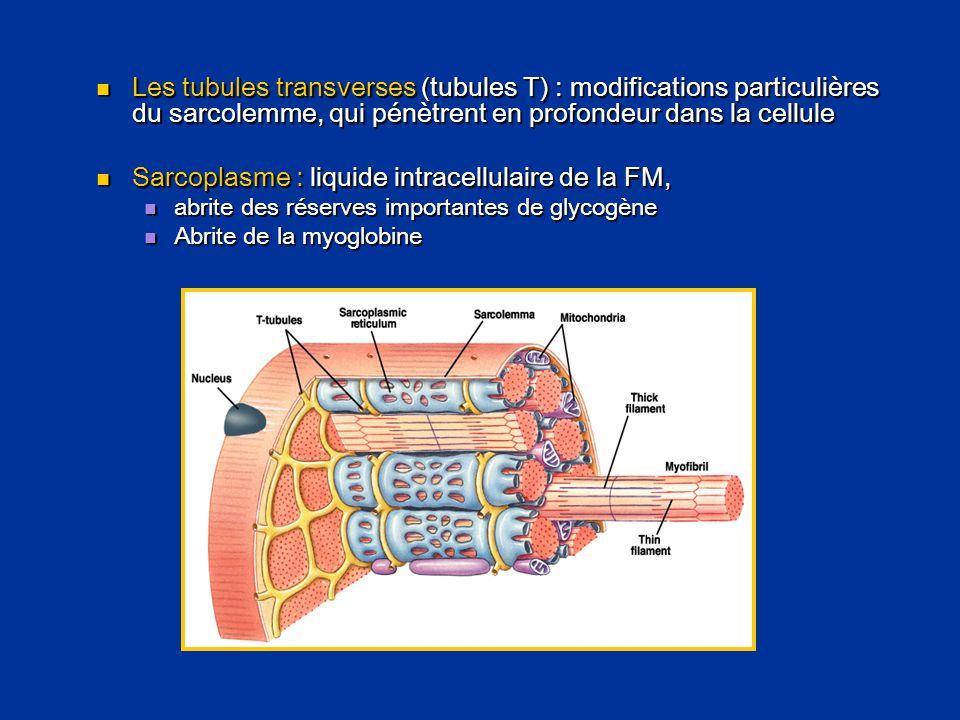 Sarcoplasme : liquide intracellulaire de la FM,