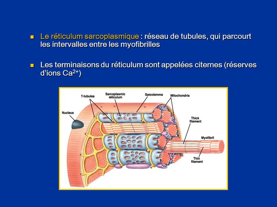 Le réticulum sarcoplasmique : réseau de tubules, qui parcourt les intervalles entre les myofibrilles