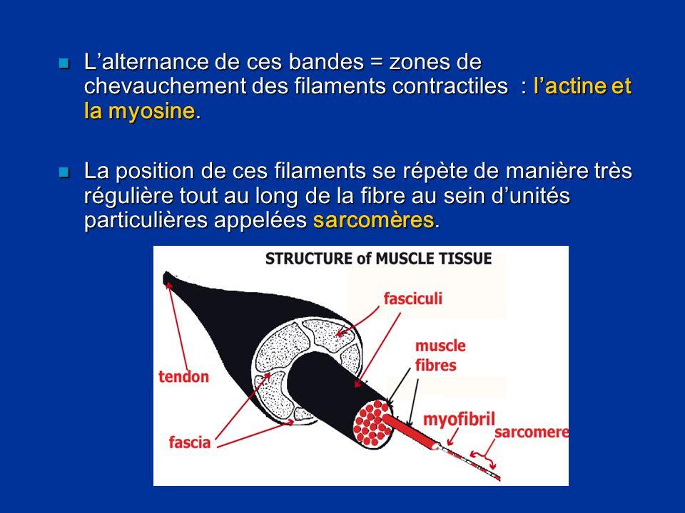 L'alternance de ces bandes = zones de chevauchement des filaments contractiles : l'actine et la myosine.