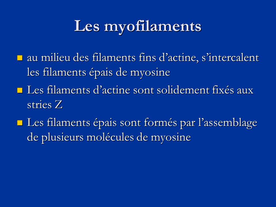 Les myofilaments au milieu des filaments fins d'actine, s'intercalent les filaments épais de myosine.
