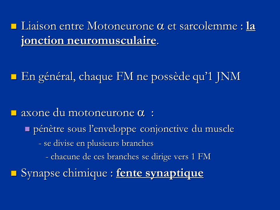 En général, chaque FM ne possède qu'1 JNM axone du motoneurone  :
