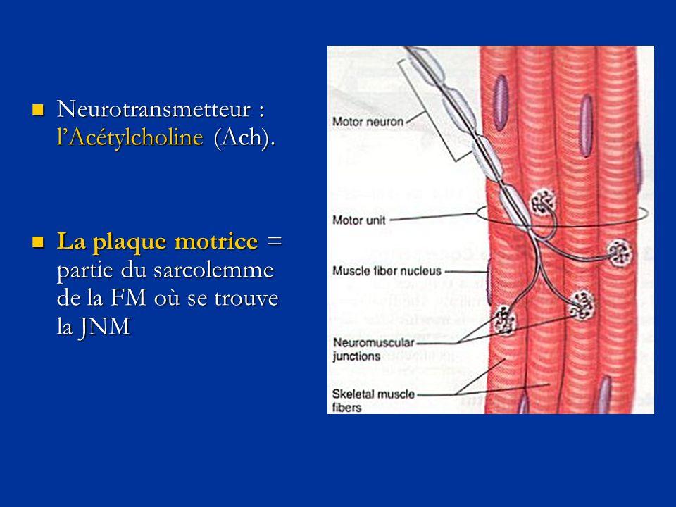 Neurotransmetteur : l'Acétylcholine (Ach).