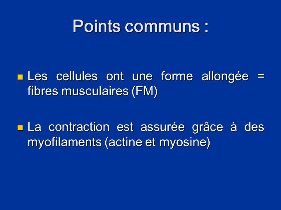 Points communs : Les cellules ont une forme allongée = fibres musculaires (FM)